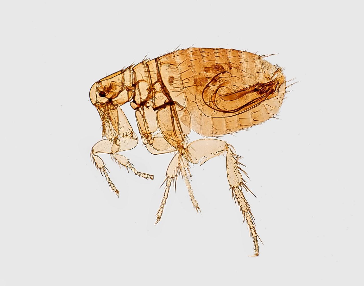 A transparent flea on a white background