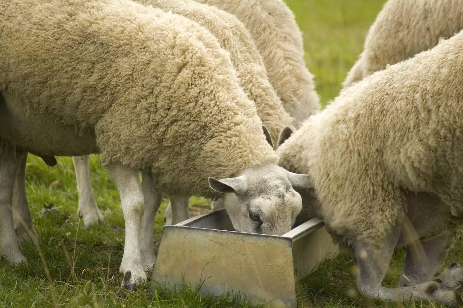 Sheep feeding around trough